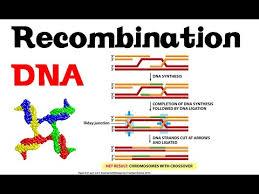 نوترکیبی دی ان ای (DNA recombination ) شکستهای دو رشته کروموزومی (DSBs) پس از مواجهه با اشعه یونیزه کننده یا برش آنزیمی - ( ترجمه آزاد)